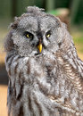 Great gray owl strix nebulosa Stock Images