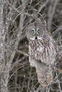 Great Gray Owl in Tree Stock Photography