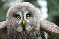 Great gray owl the upper body of adult Royalty Free Stock Photos