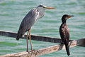 Great grey heron and great cormorant focus on Royalty Free Stock Photos