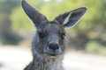 Great grey kangaroo australia freycinet national park tasmania Stock Images