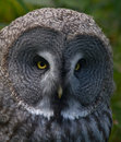 Great grey owl. Stock Images