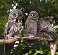 Great grey owl an adult and two young owls Stock Image