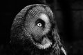 Great grey owl close up of in black and white Royalty Free Stock Image