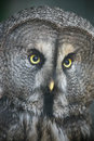 The great grey owl closeup portrait or strix nebulosa Royalty Free Stock Photo