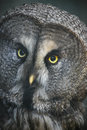 The great grey owl closeup portrait or strix nebulosa Royalty Free Stock Photos