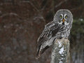 Great grey owl and copyspace a strix nebulosa perched on a stump with snow falling in the background Stock Image