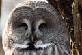 Great grey owl face the gray Stock Images