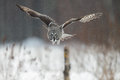 Great grey owl hunting strix nebulosa in finland in winter Royalty Free Stock Image