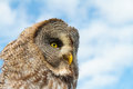 Great grey owl looking to side Stock Image
