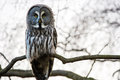Great grey owl perched on tree branch Stock Photo