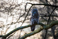Great grey owl perched on tree branch Royalty Free Stock Image