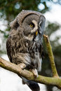 Great grey owl perched on a tree branch Stock Photos
