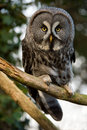 Great grey owl perched on a tree branch Royalty Free Stock Photo