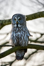 Great grey owl perched on a tree branch Royalty Free Stock Photos