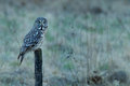 Great grey owl, Strix nebulosa, bird hunting on the maadow. Owl sitting on old tree trunk with grass, portrait with yellow eyes. Royalty Free Stock Photo