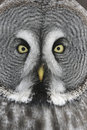 Great grey owl strix nebulosa close up of head Royalty Free Stock Image