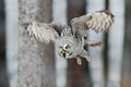 Great grey owl strix nebulosa flight in the forest blurred trees in background Royalty Free Stock Images