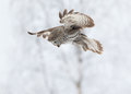 Great grey owl strix nebulosa hunting in finland in winter Stock Photos