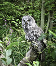 Great grey owl strix nebulosa sitting on a log in a brushy area Stock Photography