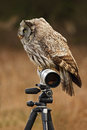 Great grey owl strix nebulosa sitting on tripod with white long lens norway Stock Photography