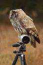 Great grey owl, Strix nebulosa, sitting on tripod with white long lens Royalty Free Stock Photo