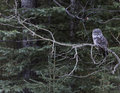 Great grey owl a in a tree near calgary alberta canada Royalty Free Stock Image