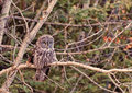 Great grey owl a in a tree near calgary alberta canada Stock Images