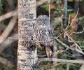 Great grey owl a in a tree near calgary alberta canada Stock Photos