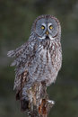 Great grey owl (Strix nebulosa) perched on a post hunting over a snow covered field in Canada Royalty Free Stock Photo