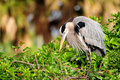 Great Heron In Its Nest Stock Photography