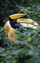 Great hornbill Stock Photography