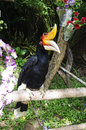 Great hornbill on branch in the zoo khao kheow Stock Photography