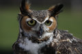 Great-horned Owl Stock Image