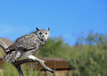 Great horned owl Stock Photo