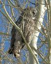 Great Horned Owl Royalty Free Stock Photos