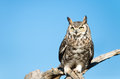 Great horned owl with blue sky background Royalty Free Stock Photography