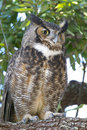 Great Horned Owl, Bubo virginianus Royalty Free Stock Image