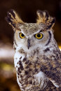 Great Horned Owl (Bubo virginianus) Intense Stare Royalty Free Stock Image