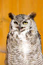 Great horned owl, Bubo virginianus, lives in Central and South America Royalty Free Stock Photo