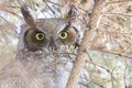 Great horned owl bubo virginianus portrait Stock Image