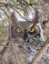 Great horned owl bubo virginianus portrait Royalty Free Stock Images
