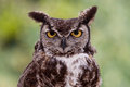 Great horned owl bubo virginianus with water droplets on feathers at ojai raptor rehabilitation center in california Royalty Free Stock Photo