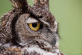 Great horned owl bubo virginianus with water droplets on feathers at ojai raptor rehabilitation center in california Stock Photos
