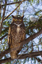 Great horned owl bubo virginianus in winter Royalty Free Stock Photos