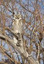 Great horned owl a camouflaged in winter s bare branches southern alberta canada Royalty Free Stock Images