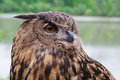 Great Horned Owl Close Up Stock Images