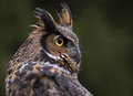 Great horned owl close up a of a bubo virginianus looking back at something Stock Photo