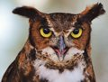 Great horned owl close up of a face Stock Images