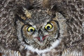 Great horned owl close up shot bc canada Stock Images